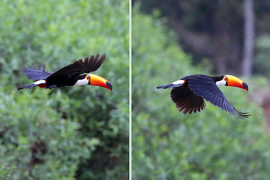 toco-toucan-in-flight.jpg